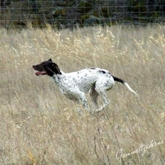 J SEUCh Charletans Gucci är en hund med fart i och som jagar med stor glädje hela dagen.