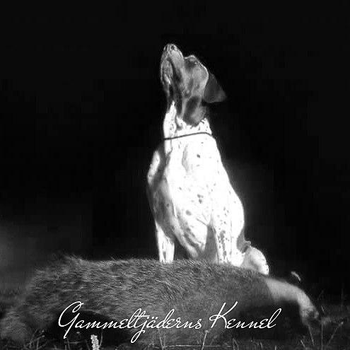 Första Gammel Danska Hönsehunden Saxe var specialist på orre och tjäder men var pålitlig även i annan jakt. Här efter ett lyckat eftersök på grävling.