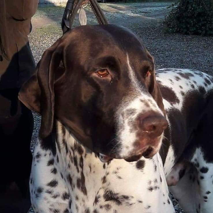 Danska GDH hanhunden Lui är far till valpkullen född 2018 hos oss på Gammeltjäderns Kennel